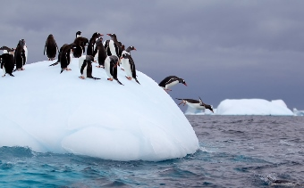 Penguins dive into ice cold water